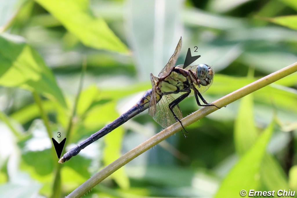 呂宋灰蜻 Marsh Skimmer