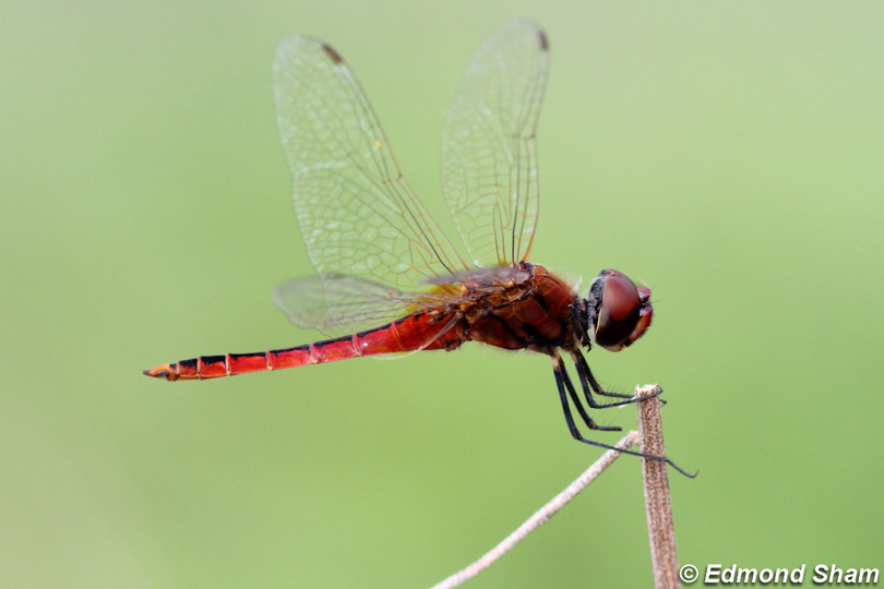 高翔漭蜻 Coastal Glider