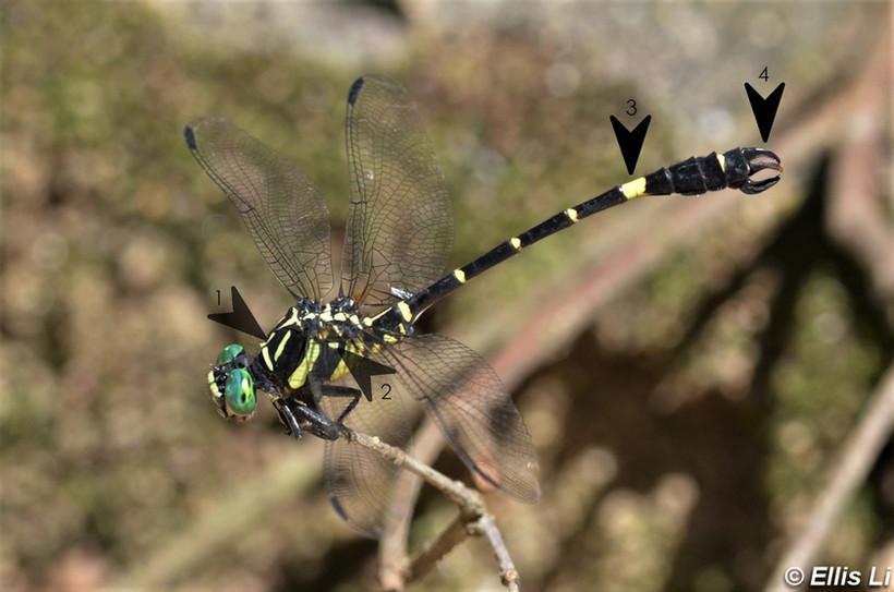 中華長鈎春蜓 Chinese Hooktail