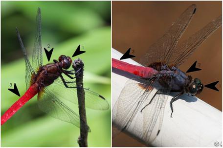 華麗灰蜻(雄) vs 赤褐灰蜻(中印亞種)(雄)