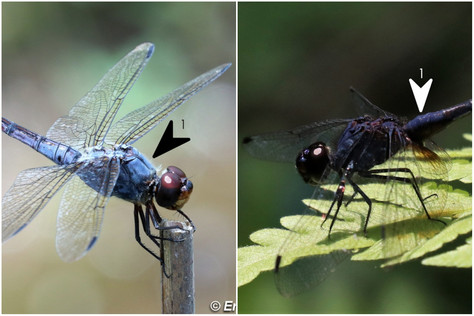 濕地狹翅蜻(雄) vs 慶褐蜻(雄)