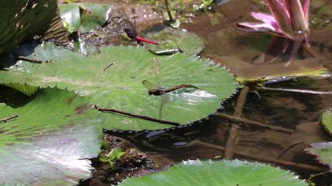 赤褐灰蜻(中印亞種)