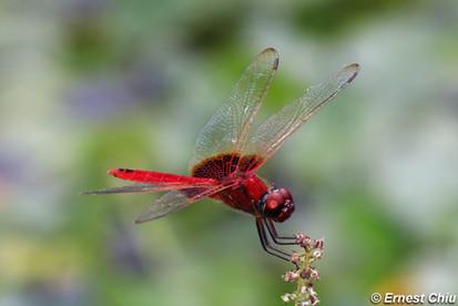 赤斑曲鈎脈蜻 Scarlet Basker