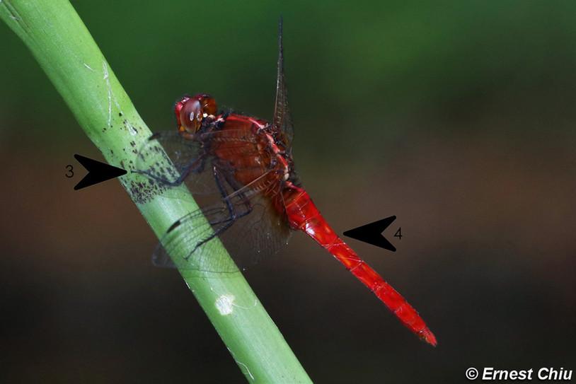 紅胭蜻 Ruby Darter