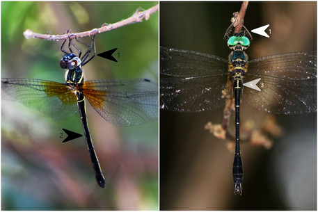 郁異僞蜻 vs 威異僞蜻