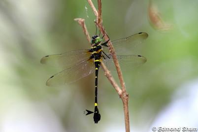天王大偽蜻