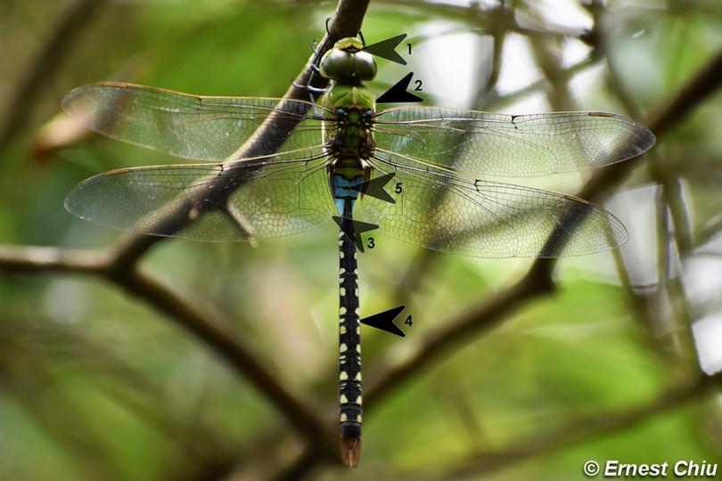 斑偉蜓 Pale-spotted Emperor