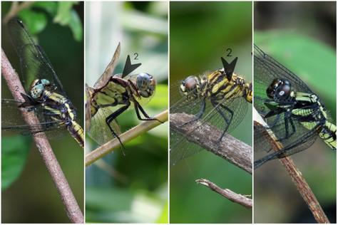 黑尾灰蜻(雌) vs 呂宋灰蜻(雌)vs 斑灰蜻(雌) vs 鼎脈灰蜻(雌)