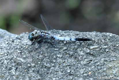 白尾灰蜻 White-tailed Skimmer