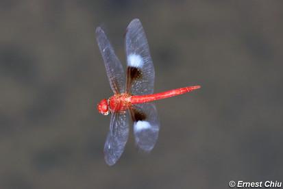 雲斑蜻 Evening Skimmer