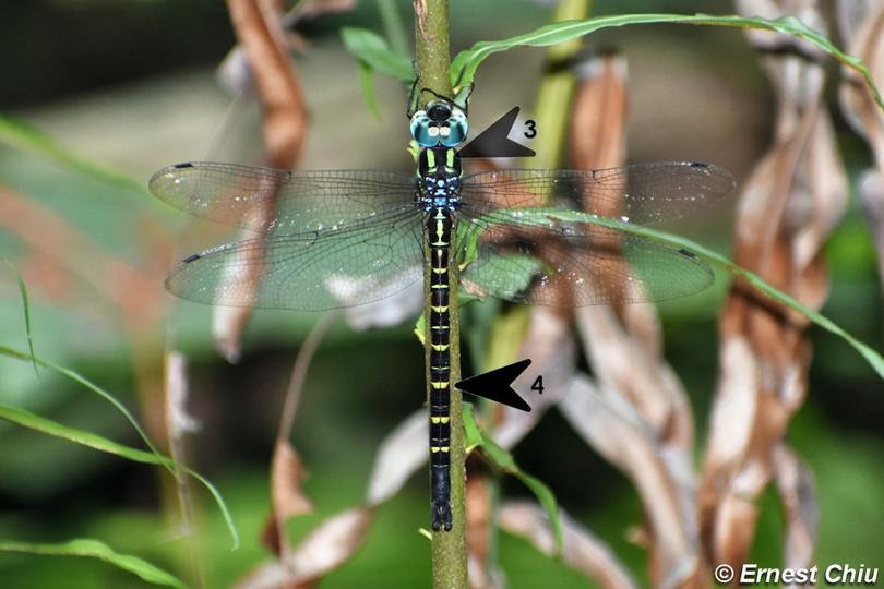 藍黑多棘蜓 Bird-beaked Hawker