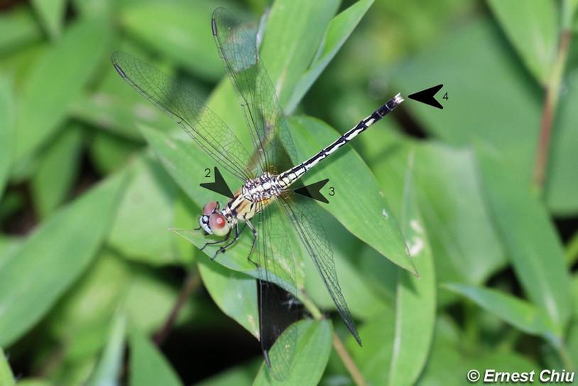 紋藍小蜻 Blue Percher