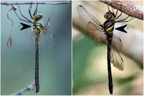 伊中僞蜻 vs 颶中僞蜻