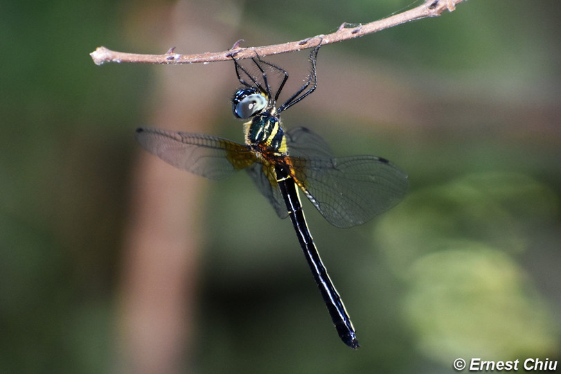 郁異偽蜻 South China Shadow-emerald