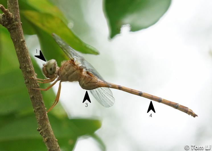 細腹綠眼蜻