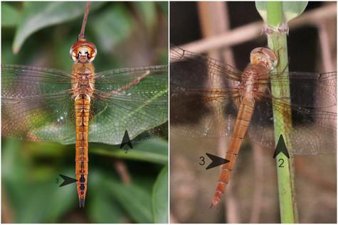 黃蜻(雌) vs 雲斑蜻(雌)