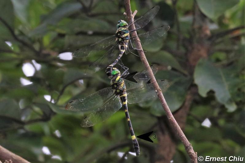 閃藍麗大僞蜻