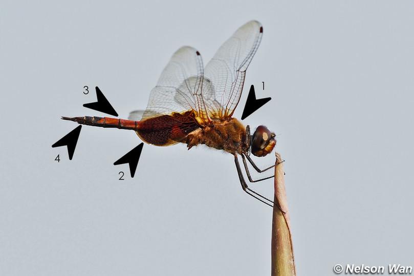 華斜痣蜻 Saddlebag Glider