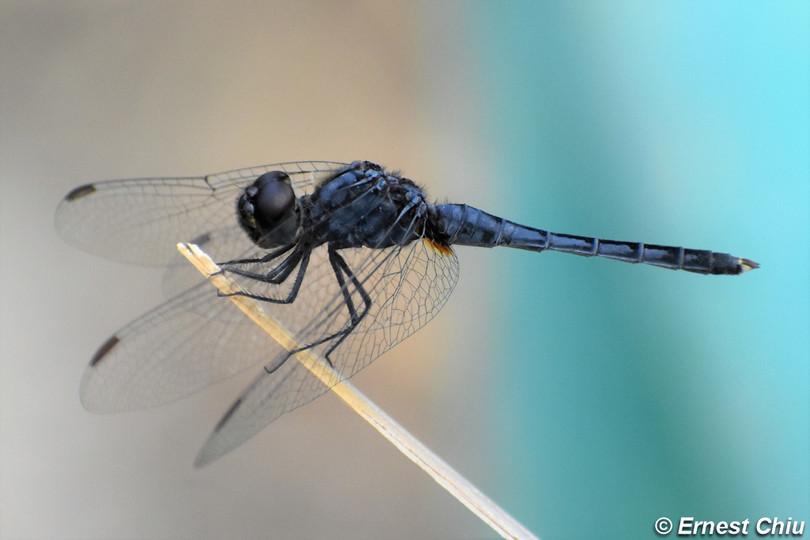 深藍印蜻 Black Marsh Skimmer