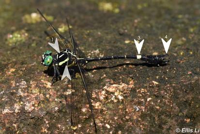 廣東彎尾春蜓 Guangdong Hooktail