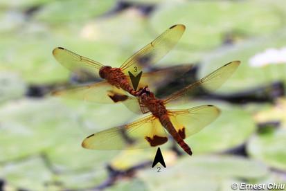 臀斑楔翅蜻 Amber-winged Glider