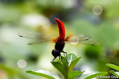 紅腹異蜻 Elusive Adjutant