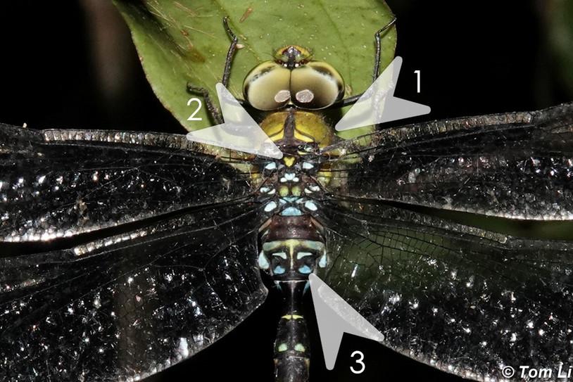 琉球長尾蜓 Ryukyu Dusk-hawker