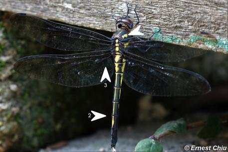 彩虹蜻(雌) vs 朝比奈虹蜻