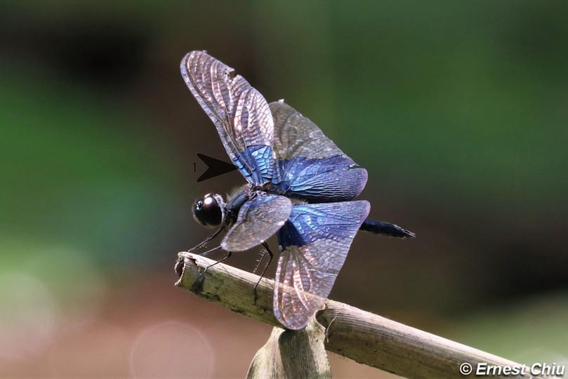 三角麗翅蜻 Sapphire Flutterer