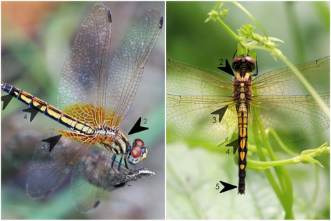 曉褐蜻(雌) vs 慶褐蜻(雌)