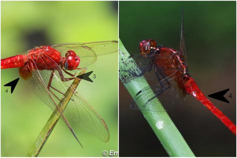 紅蜻(雄)vs 紅胭蜻(雄)