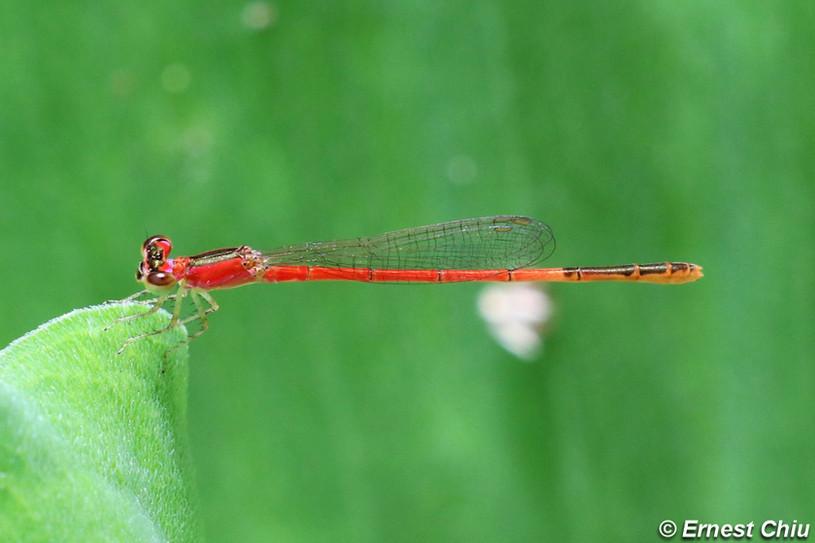 杯斑小蟌 Orange-tailed Midget