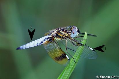 六斑曲緣蜻 Asian Widow