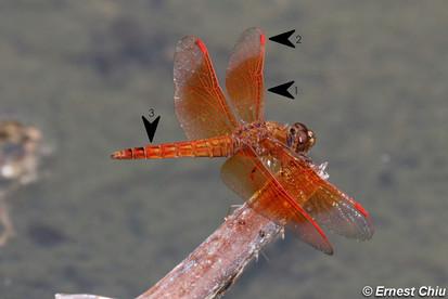 黃翅蜻 Asian Amberwing