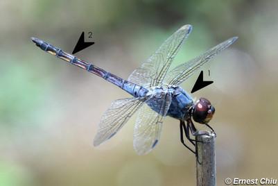 濕地狹翅蜻
