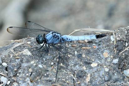 異色灰蜻 Greater Blue Marsh Skimmer