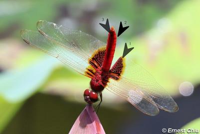 赤斑曲鈎脈蜻