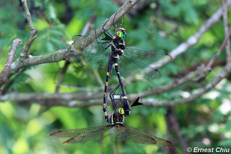 伯蘭大僞蜻 Angle-winged Cruiser