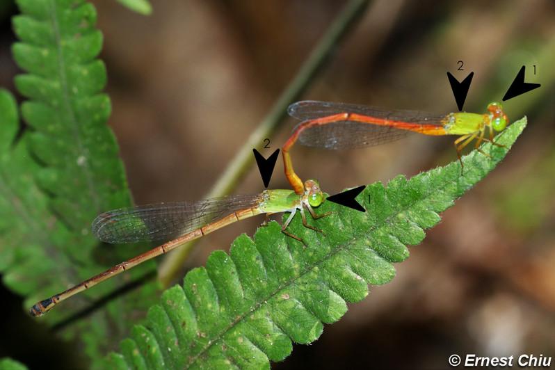翠胸黃蟌(琉球亞種)