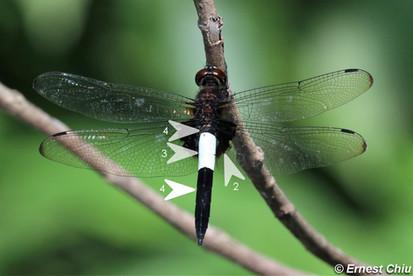 玉帶蜻 Pied Skimmer