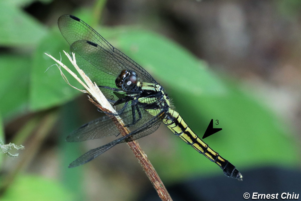 鼎脈灰蜻 Lesser Blue Skimmer