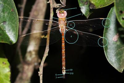 蜻蜓身體結構