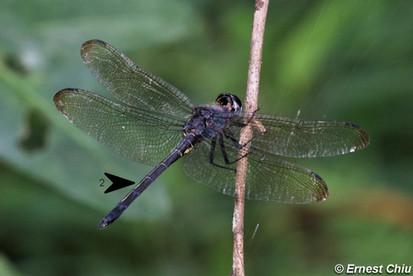 彩虹蜻 Emerald Cascader