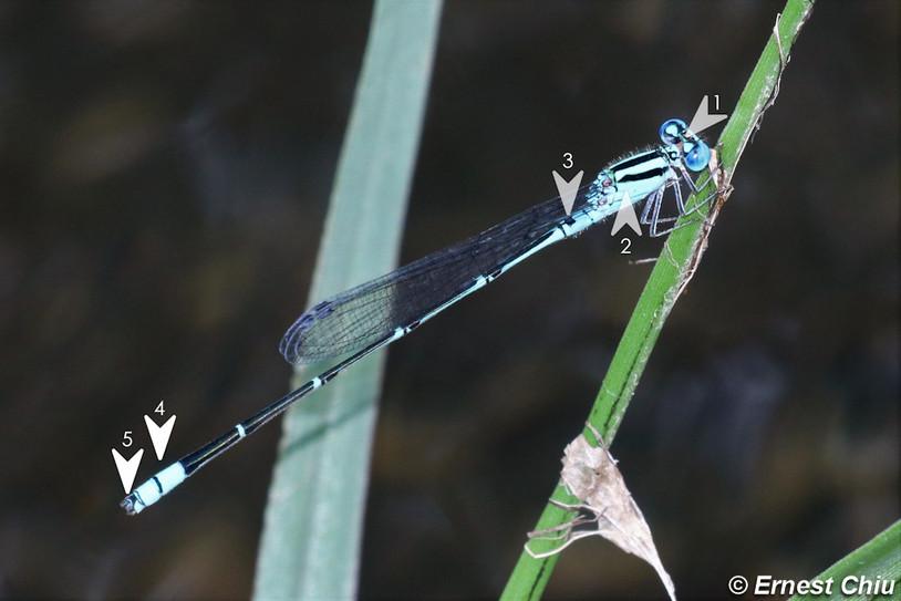 綠斑蟌 Blue Sprite