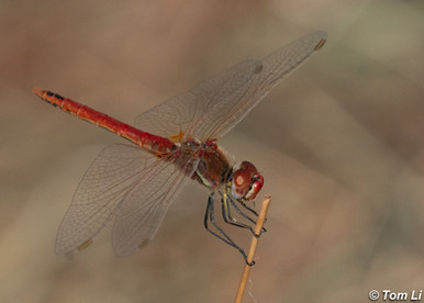 方氏赤蜻 Red-veined Darter