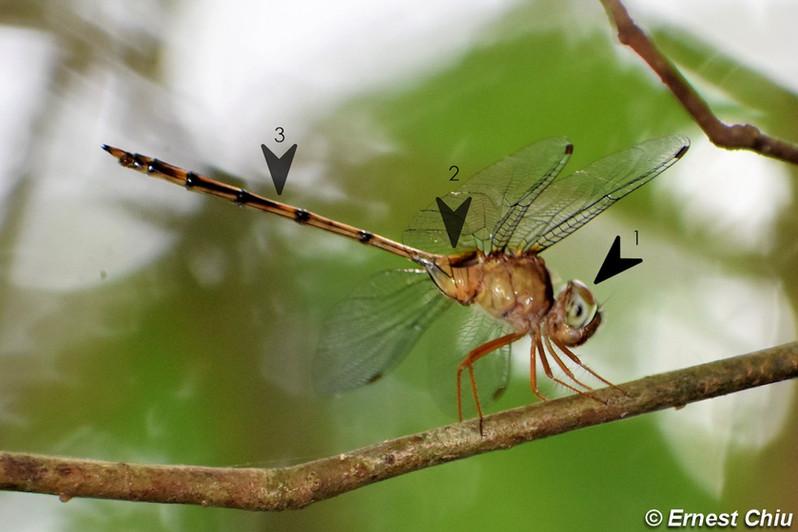細腹開臀蜻