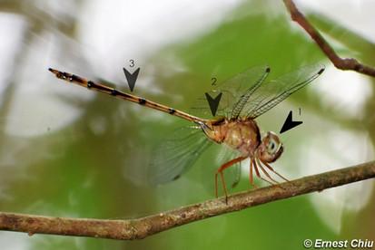 細腹開臀蜻 Dingy Dusk-darter