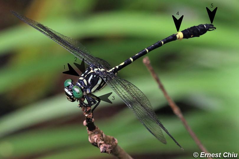 薩默碩春蜓 Giant Hooktail