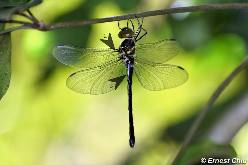 颶中偽蜻 Common Shadow-emerald