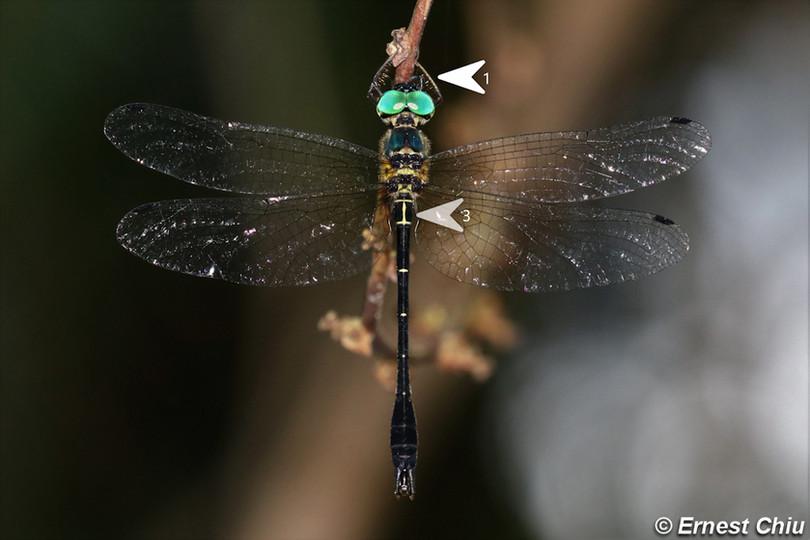 威異偽蜻 Dancing Shadow-emerald